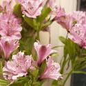 11830   Pink Lilys