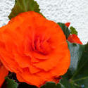 12915   Gorgeous vivid red summer begonia