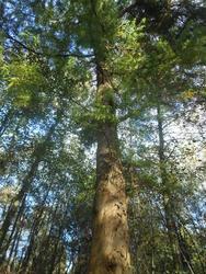 12436   big tall tree