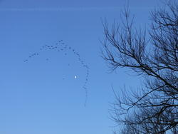 12437   birds flying with the moon 2