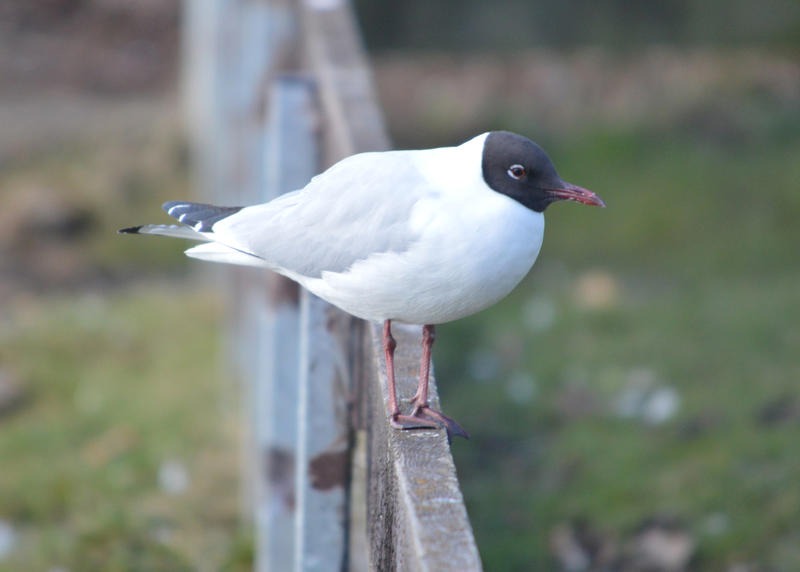 <p>A Seagull with a black or brown head also known as a Black Headed Gull</p>
