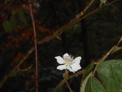 12440   blackberry blossom