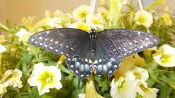 17060   blue butterfly