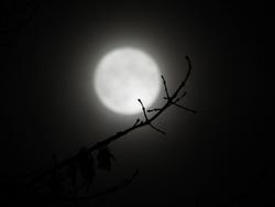 13056   branch reaching toward the moon