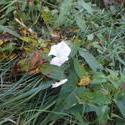 12442   brave white flower