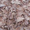 11845   Carpet of frosty brown leaves