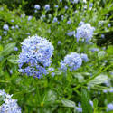 12917   Light blue flower cluster on plant in garden