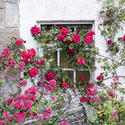 12906   Leggy roses growing along exterior wall
