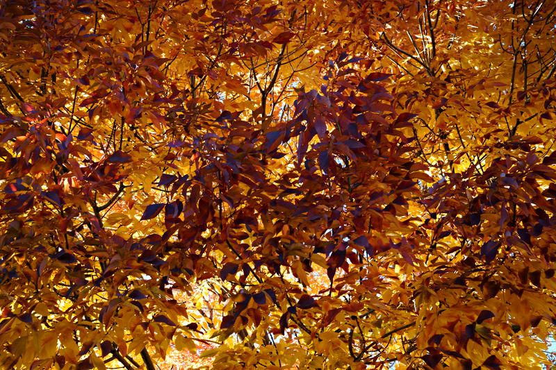 <p>This is an interior view of an Ash tree during Autumn. &nbsp; The overhead afternoon sun illuminates each leaf causing this colorful display.</p>