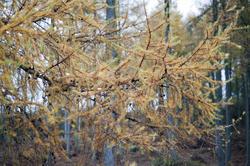 11855   Close up of fir branches