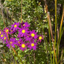 11832   Purple Flowers