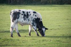 16781   Cow in a field