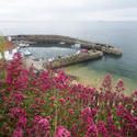 12843   Flowers on a hill facing the harbor in Crail