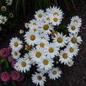 17135   A daisy garden