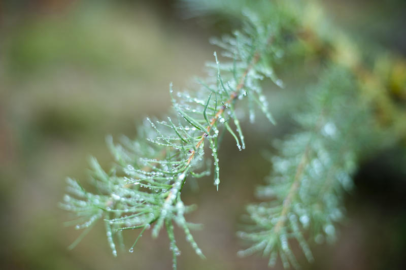 11838   Close up of evergreen fir branch with drops of water