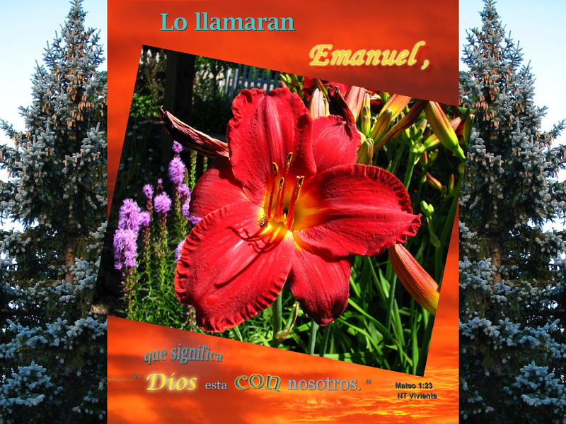 <p>Composite of Blue Spruce and Day Lily for Christmas</p>