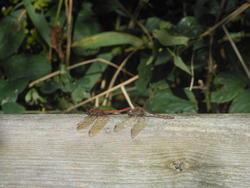 12460   dragonflies a