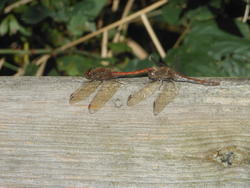 12461   dragonflies b