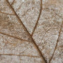 11849   Macro detail of a dead leaf