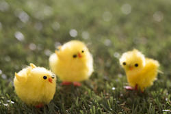13477   yellow Easter chicks on grass