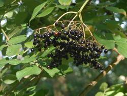 12468   elderberries cluster