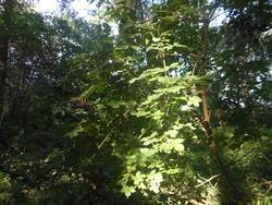 12467   elderberry shrubbery