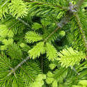 12926   Fresh evergreen conifer foliage