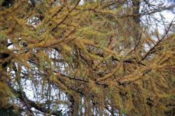 11857   Close up of fir braches