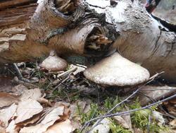 12493   forest mushroom 10