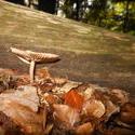 12495   forest mushroom 12