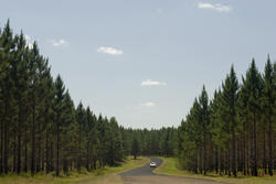 11859   Scenic landscape of fir trees and a car driving through the fore