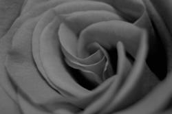 16863   Black and white photo of a rose
