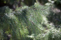 11863   Close up of evergreen fir tree bathed in sunshine