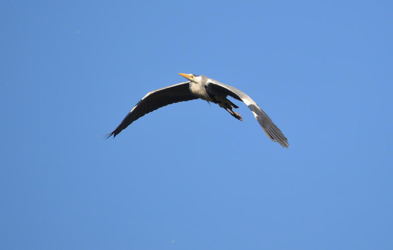 <p>A Heron flying in a bright blue sky. Photographed in Lancashire, UK</p>