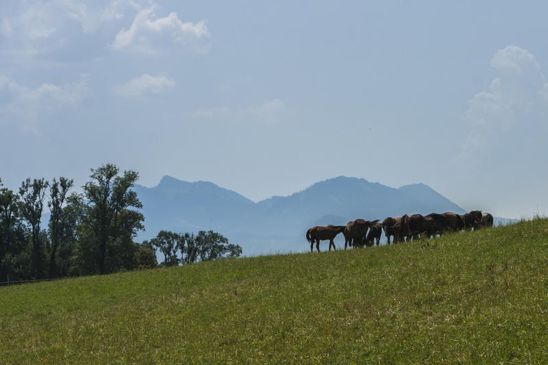 <p>Horses grazing grass on a sunlit green hillslope on a summer day against mountainous backdrop.</p>