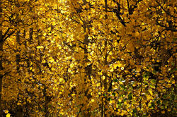 12624   Inside a Golden Aspen Forest