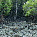11822   Rocky mangrove swamp at low tide