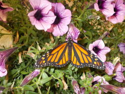 16958   Monarch Butterfly