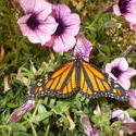16958   Monarch Butterfly
