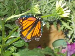 16948   Monarch Butterfly