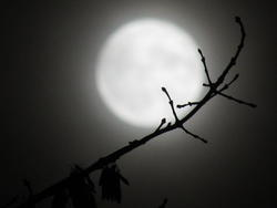 13060   moon behind a branch