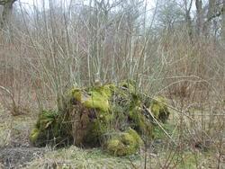 12536   mossy stump