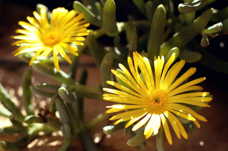 <p>The Yellow Fygie, a succulent plant that covers Namibias desert ground.</p>