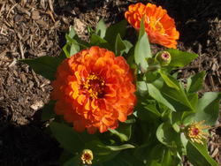 17031   An Orange Zina