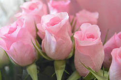 16873   Free photo of some Pink Roses