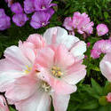 12936   Cluster of variegated pink and white flowers