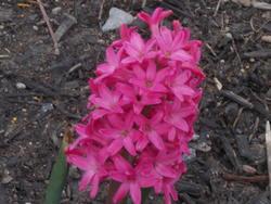 16981   A Pink Flower
