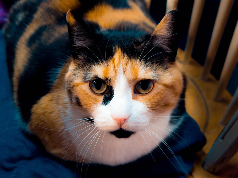 <p>Calico cat sitting in her chair, looking right at you, pretty as can be.</p>