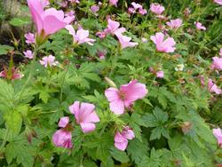 12939   Pink Flowers with Growing in Summer Garden