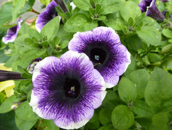 12940   Purple and White Petunias in Summer Garden